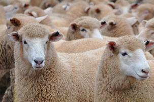 Solutions for Sheep Parasites | Zoetis AU