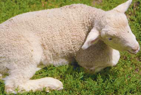 Diseases That Affect Lambs | Zoetis AU