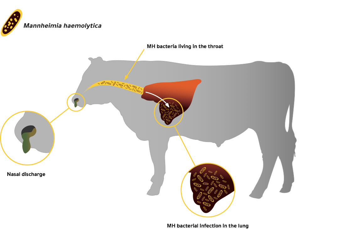 this diagram shows the process of mh bacteria living in the throat of a  healthy animal, but then progressing down to the lung when an animal is  exposed to